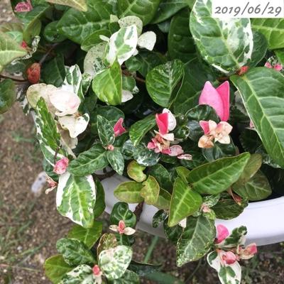 ピンクや白の葉のハツユキカズラ