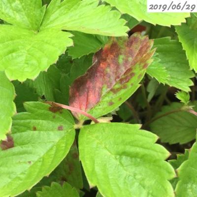 四季なりイチゴの葉が茶色