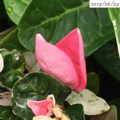 ハツユキカズラのピンクの葉