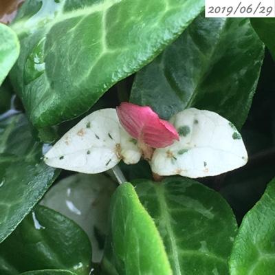 ハツユキカズラのピンク色と白色の葉