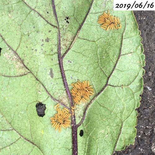 ナスの葉 害虫