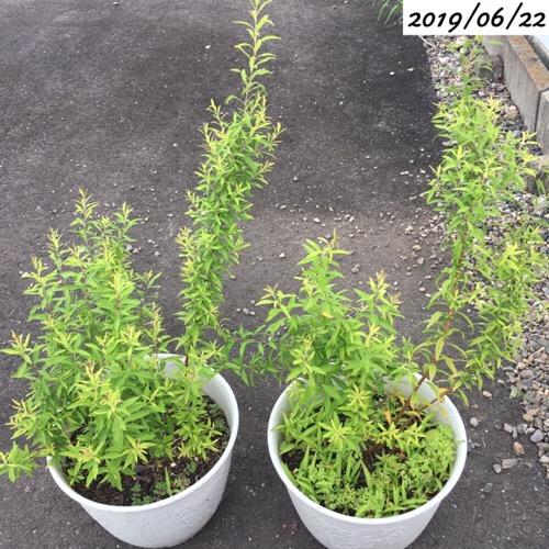 鉢植えのユキヤナギ