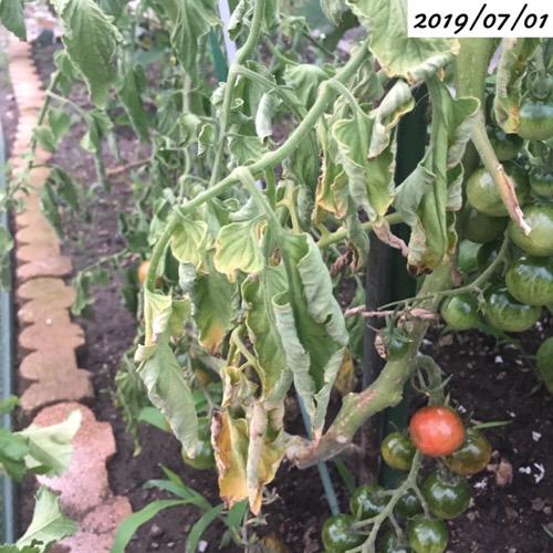 ミニトマトの葉が枯れる