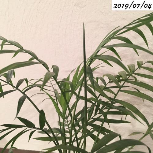 テーブルヤシの葉芽