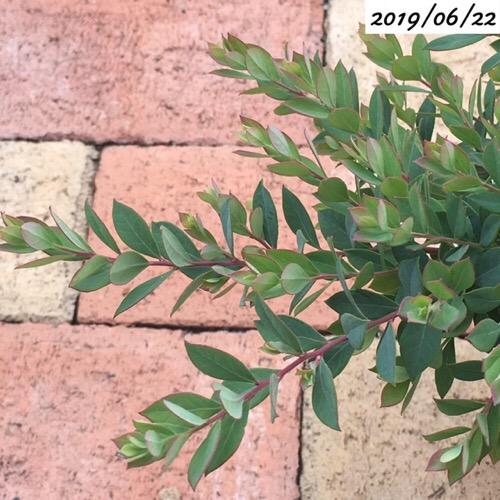 ビルベリーの葉