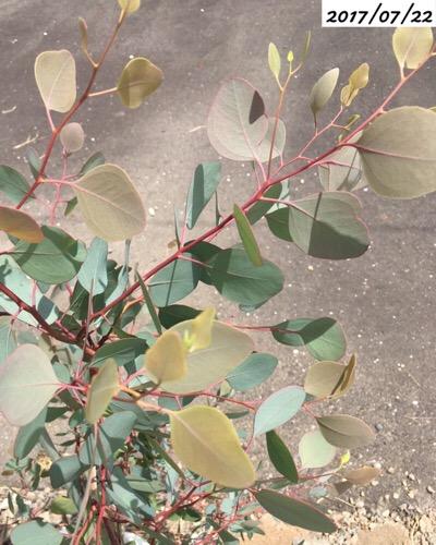 ユーカリポポラスの葉が黄色い