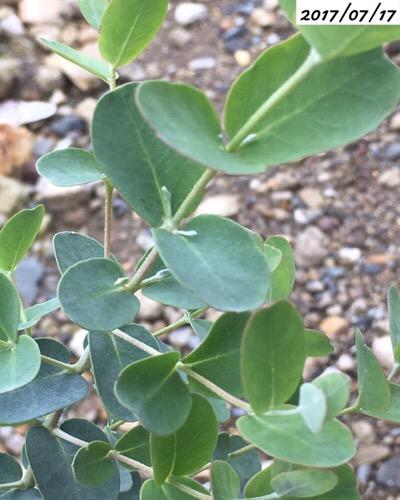 ユーカリグニーの葉