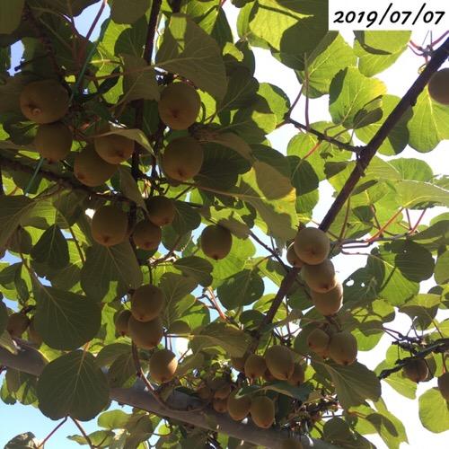 キウイフルーツの実