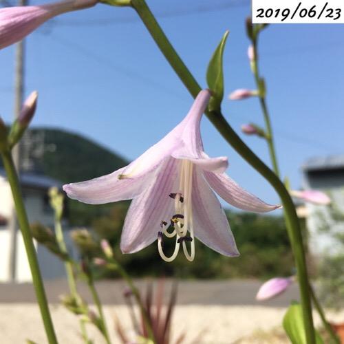 ホスタの花
