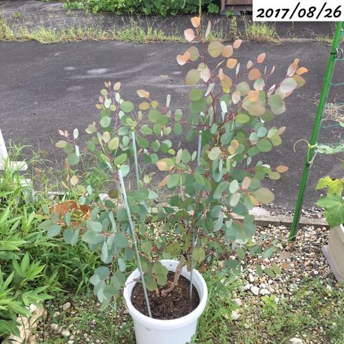 ユーカリポポラスの葉が赤い