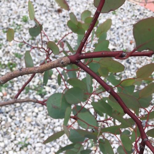 ユーカリポポラスの枝が赤い