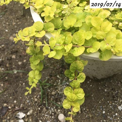 リシマキア ヌンムラリア オーレア