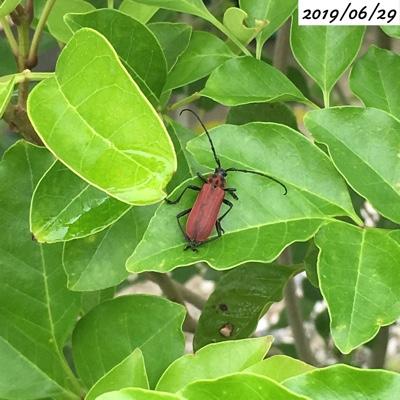 シマトネリコの葉に付いた昆虫