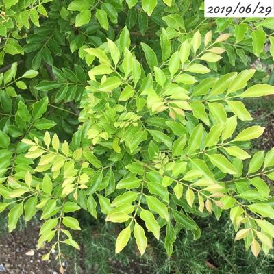 シマトネリコの葉の密度