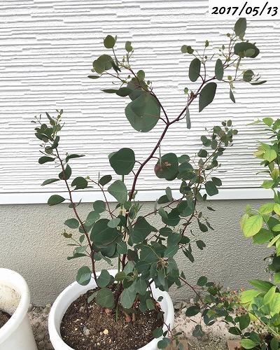 鉢植えユーカリポポラス