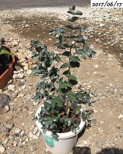鉢植えユーカリグニー
