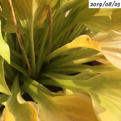 ホスタの葉