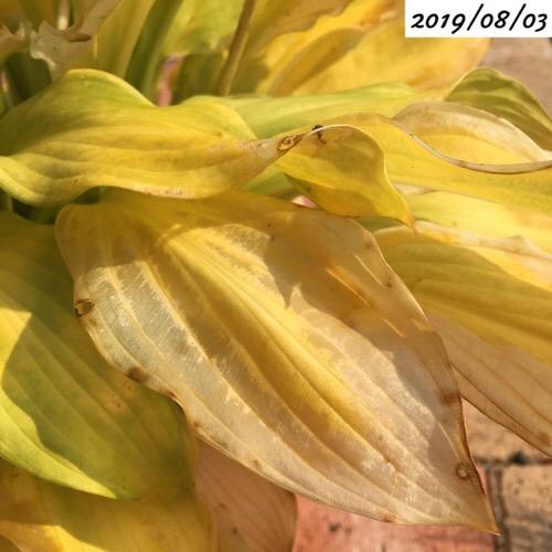 ホスタの葉が黄色くなる
