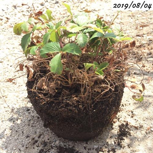ワイルドストロベリーの植え替え