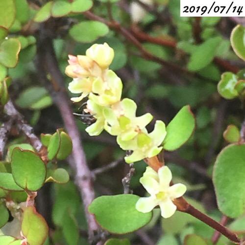 ワイヤープランツの花