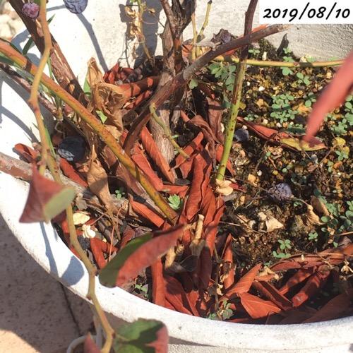 ブルーベリーの枯れた葉