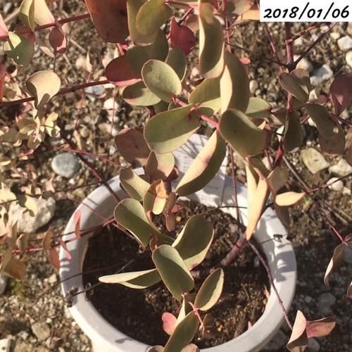 ユーカリグニー葉が丸まっている