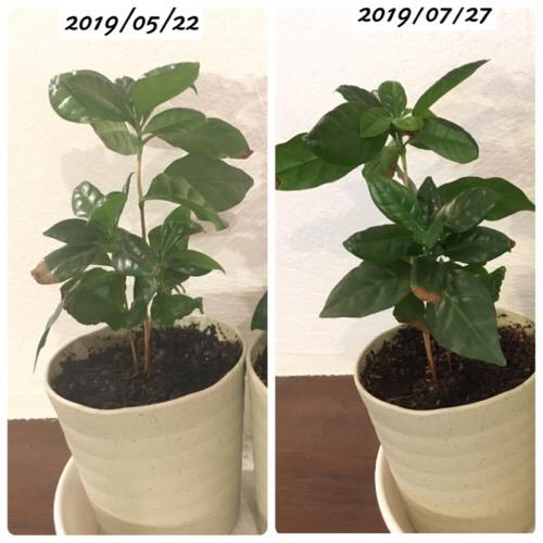 コーヒーの木の生長比較