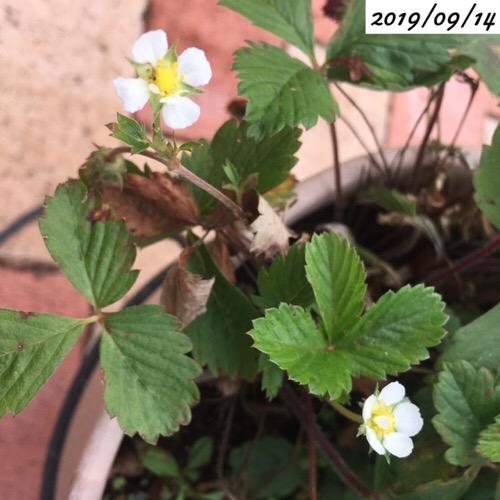 四季なりイチゴの花