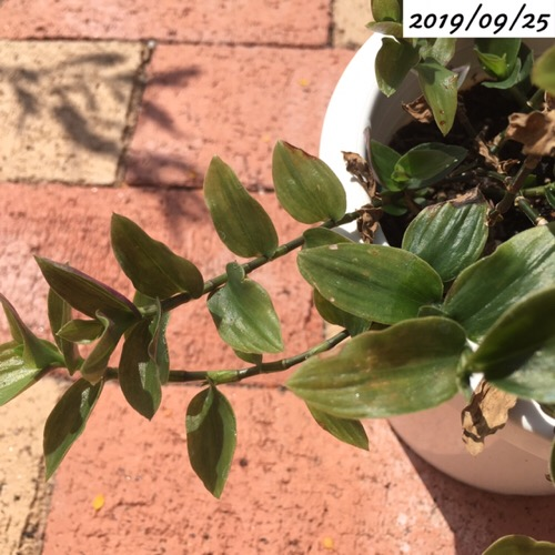 トラディスカンティア挿し木から生長