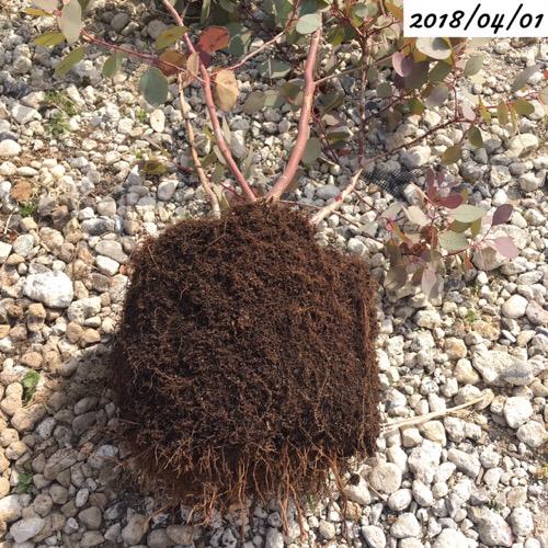 ユーカリポポラスの植え替え