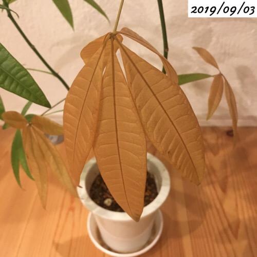 パキラの葉が枯れる