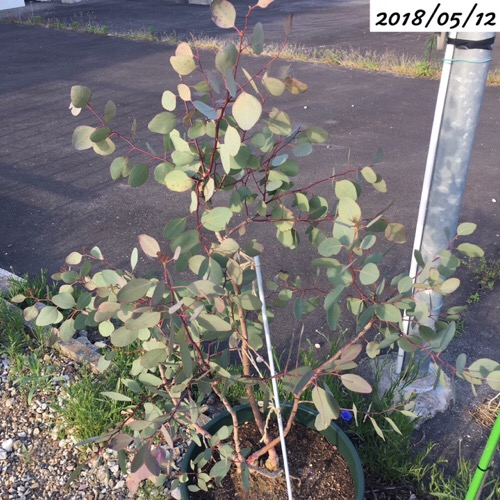 ユーカリポポラスの新芽