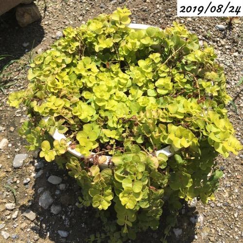 リシマキア 鉢植え