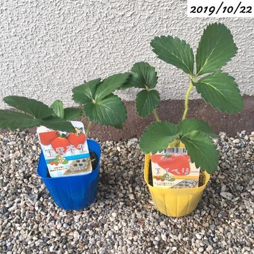 イチゴの苗を購入