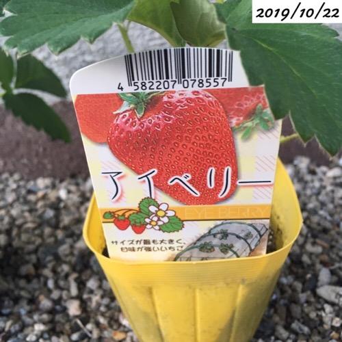 イチゴのアイベリーの苗