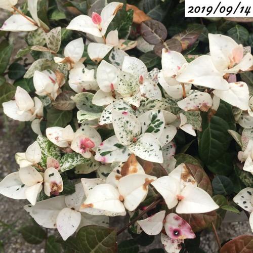 ハツユキカズラ葉が白い