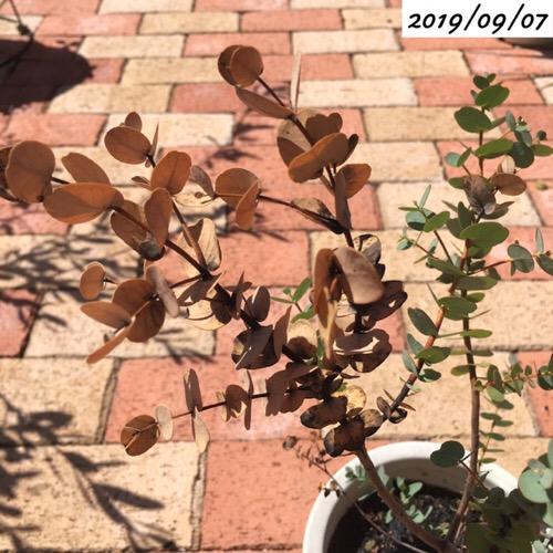ユーカリグニーの葉が茶色い