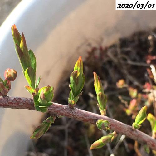 ユキヤナギの葉芽