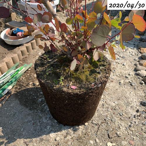 ユーカリポポラス根鉢