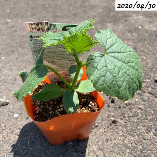 家庭菜園きゅうり苗