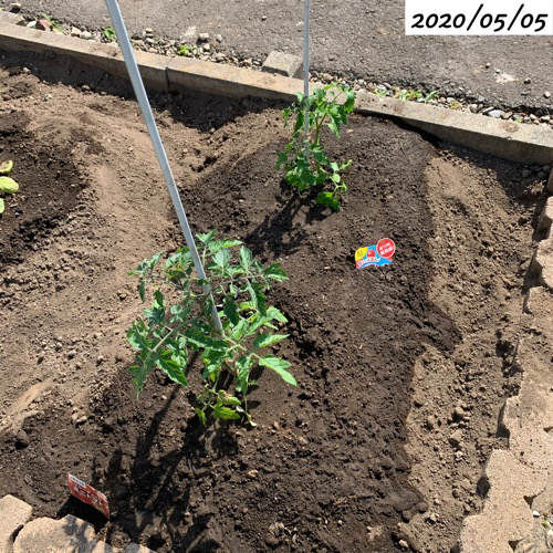 ミニトマト地植え