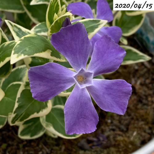 ツルニチニチソウ花