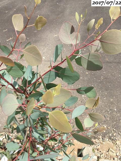 ユーカリポポラス葉が黄色い