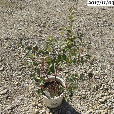ユーカリグニーの鉢植え