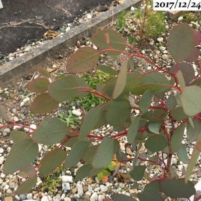 ユーカリポポラスの葉