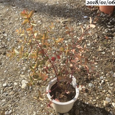 ユーカリグニー葉が丸まる