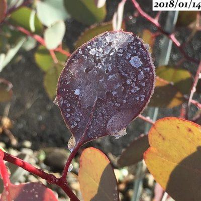 ユーカリポポラス葉が凍る