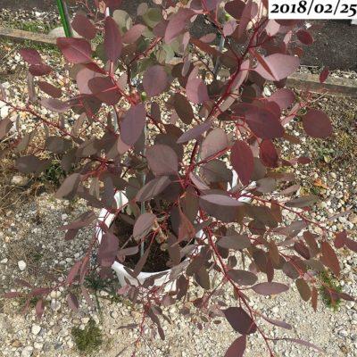 ユーカリポポラス葉が赤いまま冬超し