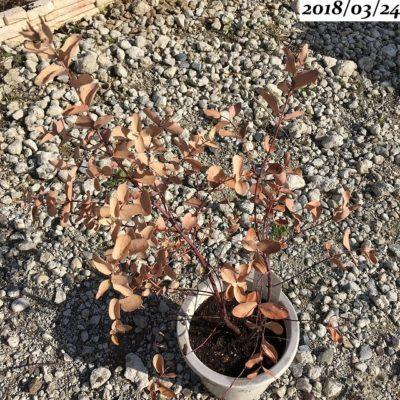 ユーカリグニー葉がパリパリのまま冬越し