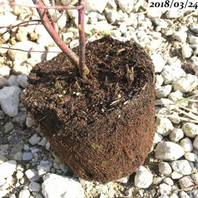 ユーカリグニー植替え、根鉢